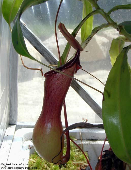 kannenpflanze umtopfen erde